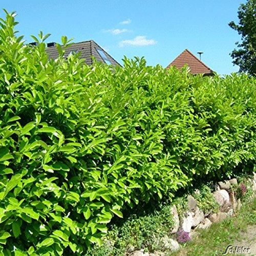 Kirschlorbeer Caucasica - Hecken Pflanze...