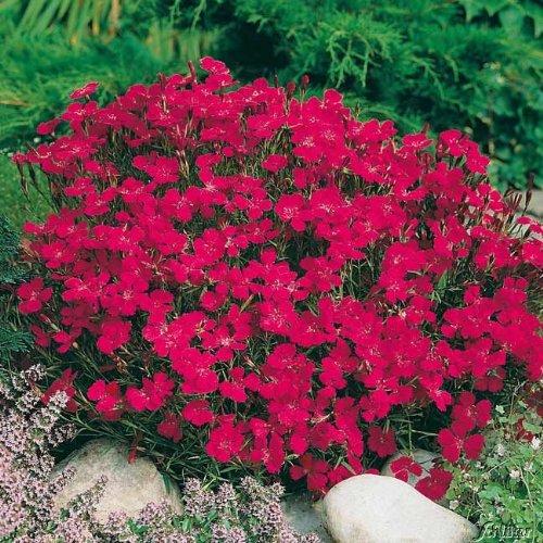 Qulista Samenhaus - Rarität Rot Bodendecker-Nelke Blütenmeer für Bienen, Hummeln und Schmetterlinge, Blumensamen winterhart mehrjährig