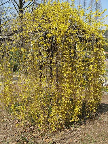 Forsythia Suspensa Weeping Forsythia Yellow Flowers jocad (5 Seeds)