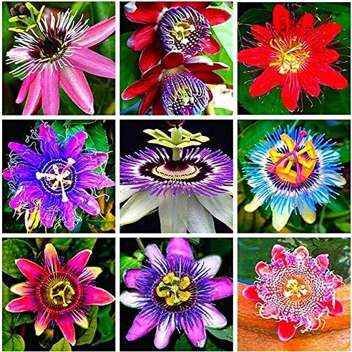 Gris clair: Bonsaï en pot Passiflora Graines Rare Fleurs Plantes Passion Fruit Graine De Passiflore Arbre Pour La Décoration De Jardin 20 Pcs Un Sac