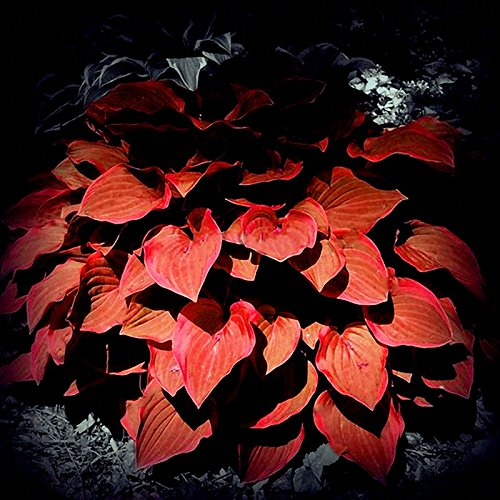 Pinkdose® Rot: Davitu 150 Teile/paket Hosta Blumensamen Garten Stauden Zier Lilie Schatten Hosta Pflanzen Samen - (Farbe: Rot)