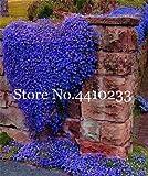 SEMI di fiori Aubrieta freschi generici da 100 pezzi per piantare blu 1