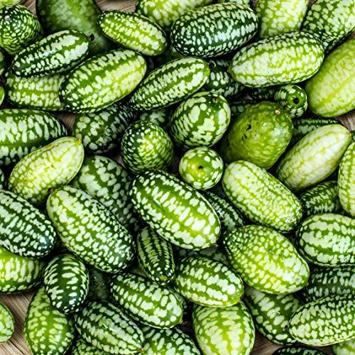 20 Samen Mexikanische Minigurke - sehr dekorativ und schmackhaft