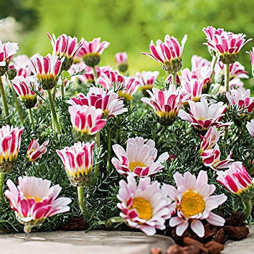 Soteer Garten - Duftende Marokko Kamille Samen Blumensamen Bodendecker Afrikanisches Ringkörbchen Polsterstaude winterhart mehrjährig für Garten Balkon/Terrasse