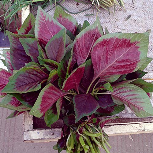 Graines d'amarante rouge chou chinois feuille ronde fleur rouge quatre saisons graines de légumes balcon en pot graines rurales graines de graines 500G-Huajun amarante rouge 5g