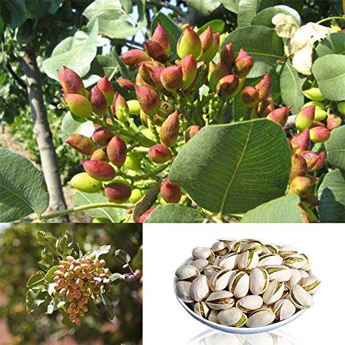 Zhouba Pistazien-Samen für Hof, Gartenpflanze, 5 Stück, seltene Pistazie, Vera, Nussbaum, Bonsai, Zuhause, Garten, Außenbereich, Dekoration