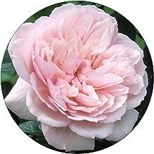 David Austin English Roses The Generous Gardener