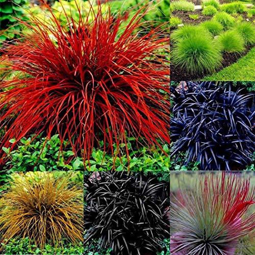Tomasa Samen- Blauschwingel Saatgut mehrjährig Schwingel Samen Bodendecker Pflanzen Gras mehrjährig winterhart Regenbogen-Schwingel Flächenbegrünung Garten Pflanzen
