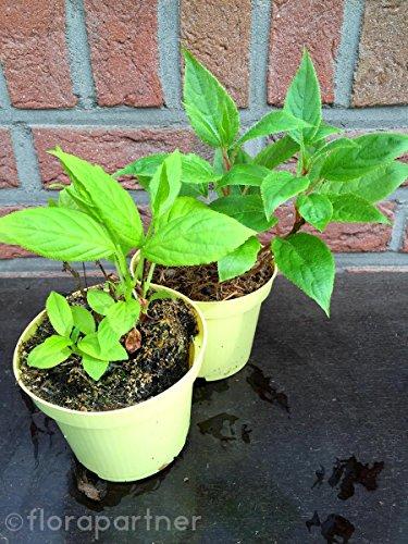 Kiwi Pflanzen, Mini Kiwi, SET m/w Actinida arguta1Set/Obst Pflanzen