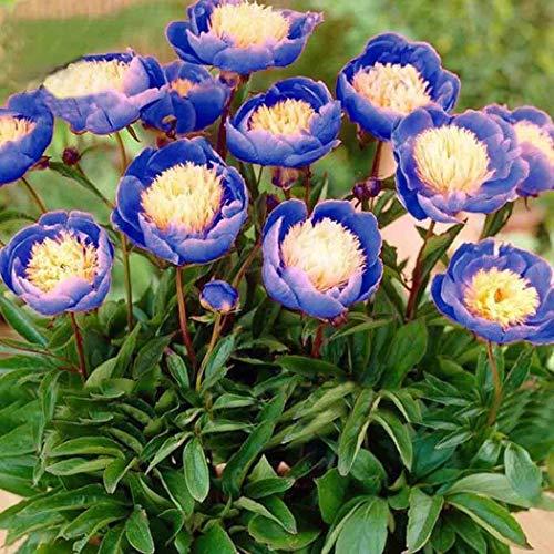Beautytalk-Garten Raritäten Schüssel Pfingstrose Blumensamen Pfingstrose gefüllt,angenehmen Duft Pfingstrose Samen exotische samen
