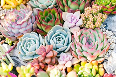 Succulent Plants Live (5 Pack), Fully Rooted Succulents - Unique Indoor Cactus Decor - Random Selected Plants by The Succulen