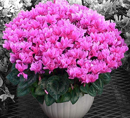 Alpenveilchen Blumensamen 50Pcs, Mischfarbe Bunte Ivy-leaved Cyclamen Zyklamen Cyclamen Persicum Saatgut Primel Wohlriechende Blüten Gartenpflanze für Steingärten Töpfe Garten Bonsai