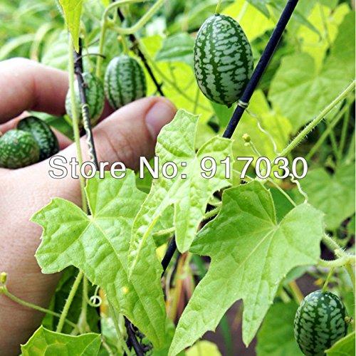 Souris Melon Seed * 1 Pack (5 Graines) * Mexican Sour Gherkin * Mini concombre * Mini concombre * semences de légumes