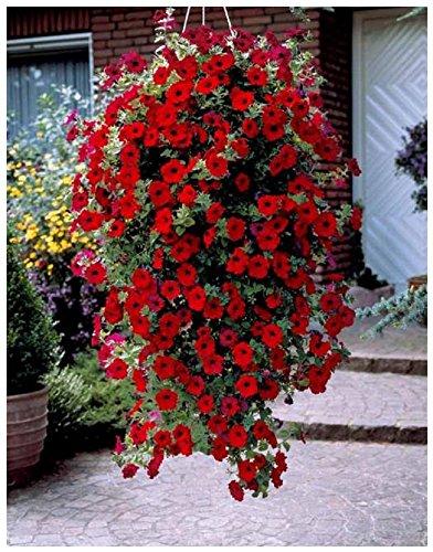 Lot de 10 graines Pétunia retombants fleurs pendants F1 Easy Wave Rouge - RARE - annuelle