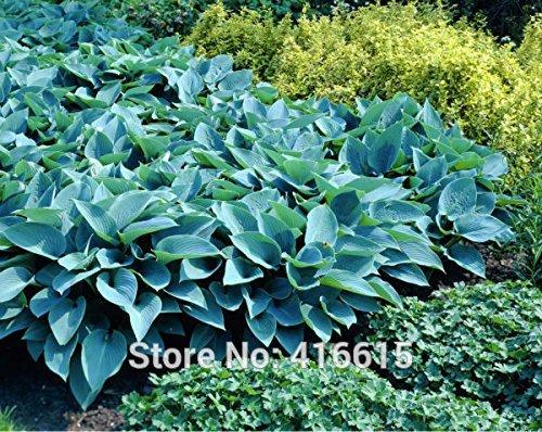 Hosta Samen Hosta Hadspen blauen Samen Schöne Schatten Perennials Plantain Lily Blumen Bonsai-Hausgarten Bodendecker Pflanzensamen