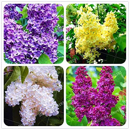GETSO 100Pc Bonsai Lilac Bonsai Pflanze Japanische Flieder (Extremely Fragrant) Nelke Blume Bonsai Flieder Bäume Außenanlage für Hausgarten