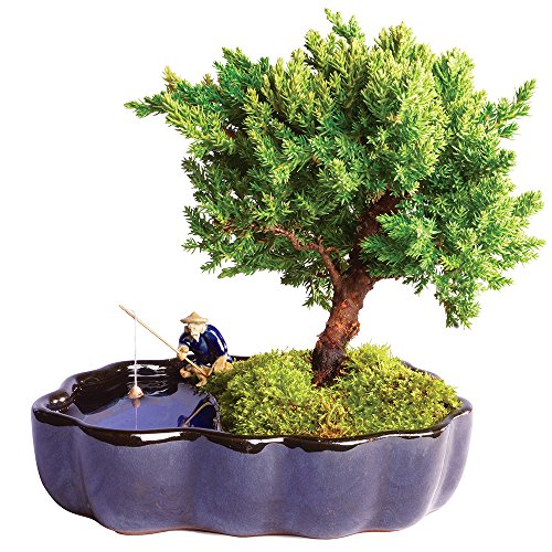 "Brussel's Live Green Mound Juniper Outdoor Bonsai Tree in Zen Reflections Pot - 3 Years Old; 6"" to 8"" Tall - Not Sold in California"