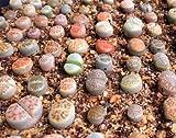 Lithops Arten Mix 10 seedssucculent Kaktus lebenden Steine