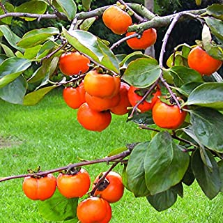 Sale New Rare Persimmon Seed Organic Non-GMO Juicy Succulent fruit trees Plant for Flower Pot Planters 20pcs / bag