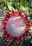 5 semi per porzione Con Fumo primer per il miglioramento del germoglio Altezza 1,50 fino a 2 metri Fiori: rosa I fiori più grandi raggiungono fino a 30 cm.