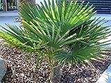 RARITÄT Frostharte Hanfpalme Trachycarpus Ukhrulensis Größe bis 140 cm. aus dem Gebirge von Manipur bis - 20 Grad