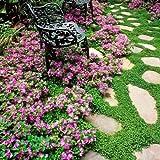 Baby's Tears, Angel's tears Plant Beautiful Ground Cover Moss...