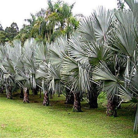 Promotion! 100pcs / sac rares dame chinoise palmiers Seeds 20 variétés Bonsaï Graines Plantes Jardin Novel Anti-Radiation