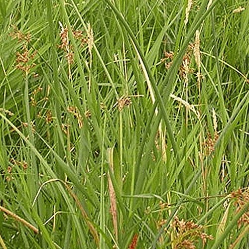 1000 Grand scirpe graminées indigènes Graines