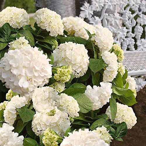 Ultrey Samenshop - 20 Stück Riesen-Schneeball-Hortensie Samen Garten-Hydrangea Saatgut Blumensamen Gartenblumen winterhart mehrjährig für Garten Balkon/Terrasse