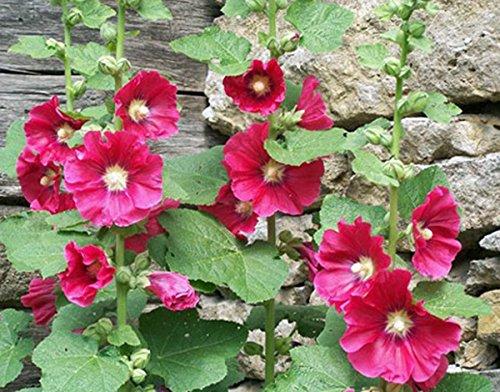Rose trémière, rose, rouge et jaune 100 graines BIO HÉRITAGE, BELLE