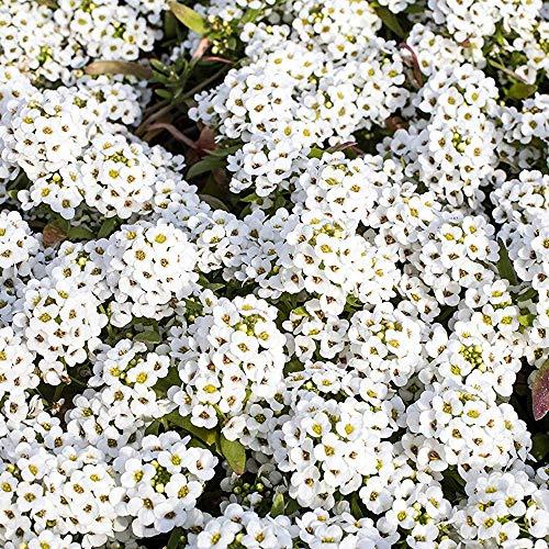 Outsidepride Alyssum Sweet - 5000 Seeds