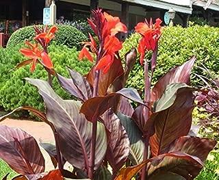 2 Bulbs Canna Lily - Australia - Bulbs/Roots/Rhizomes/Tubers/Plants