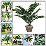 sanhoc 50 pezzi sago palm tree bonsai cycas revoluta tropical fossil facile da coltivare cycad bonsai per indoor pianta in vaso di trasporto: misto
