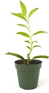 9GreenBox - Night Blooming Jasmine - 4'' Pot