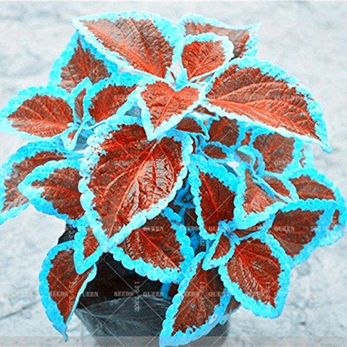 100Stück/Beutel Rare Buntnessel Samen blumei Rainbow Mix Color Blume Samen für Home Garten Innen Bonsai Pflanzen Farbe Lippen 13