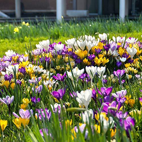 50x Crocus grandiflorus | 50er Mix Frühlings-Krokusse Großpackungen | Krokusse Zwiebeln winterhart | Blumenzwiebeln Frühblüher Ø 7-8 cm