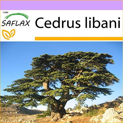 SAFLAX - Cèdre du Liban - 20 graines - Cedrus libani
