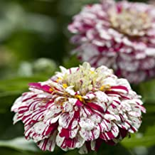 Outsidepride Zinnia Pop Art White Red Flower Seeds - 100 Seeds