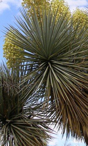 Seedeo Blaue Palmlilie (Yucca Rigida) 20 Samen