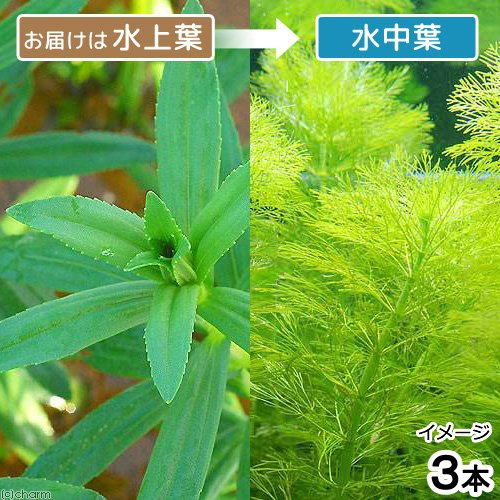 (水草)ジャイアントアンブリア(水上葉)(無農薬)(3本) 北海道航空便要保温