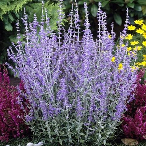 1 X PEROVSKIA 'Blue Spire' Russian SAGE DECIDUOUS Shrub Hardy Plant in Pot