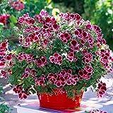 200 semillas de geranio exquisitas flores cortadas para decorar tu hogar, fácil de plantar, bajo mantenimiento, adecuado para jardineros novatos