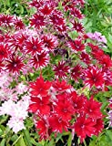 75+ Red Twinkle Star Phlox Seeds - DH Seeds -...