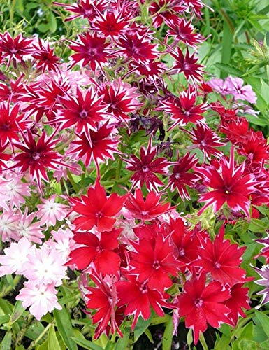 75+ Red Twinkle Star Phlox Seeds - DH Seeds - UPC0715854679639