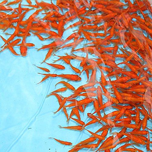 【生体】金魚  小赤 餌金 100匹 エサ用金魚 観賞用