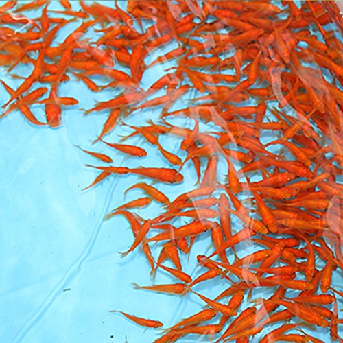 emuwai 【生体】金魚 小赤 餌金 100匹 エサ用金魚 観賞用