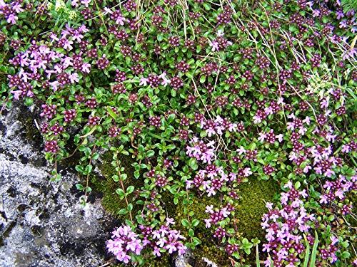 Thymus serpyllum 'Coccineus' Garten-Thymian Staude im Topf gewachsen (5 Stück)
