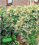BALDUR Garten Schling-Knöterich, 1 Pflanze, Schnellwachsende Kletterpflanze, Polygonum aubertii