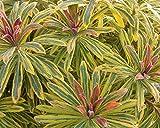 Pack x6 Euphorbia × Martini Ascot Rainbow Perennial Garden Plug Plants