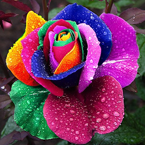 Bedler Yard Dekoration Cute Plant bunten Rose Samen Alle Saison Garten Balkon Blumen rosensamen Regenbogen